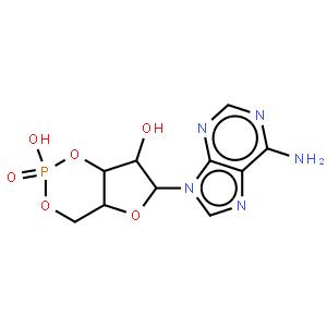 环磷酸腺苷